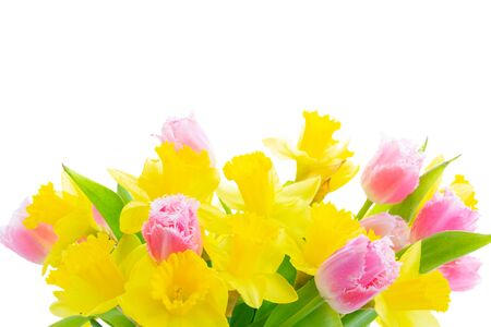 fresh pink tulips and yellow daffodils isolated on white background Zdjęcie Seryjne