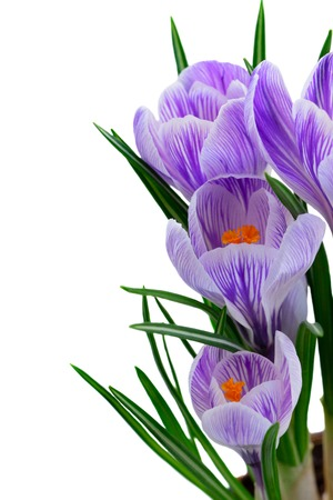 Blue crocuses flowers border isolated on white background