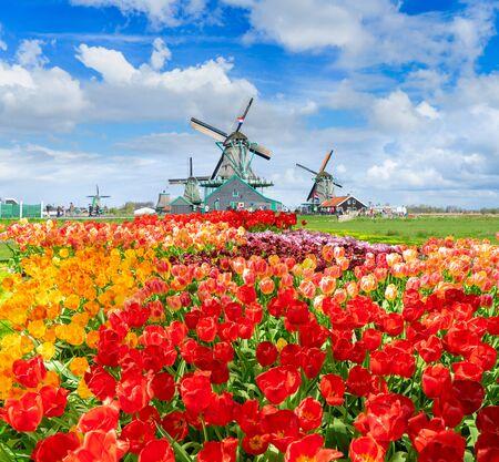 traditionelle niederländische Landschaft mit Windmühle von Zaanse Schans mit dramatischem Himmel und Tulpengasse, Niederlande