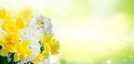 Hyazinthe nd dffodils blüht über grünem Gartenhintergrundfahne Standard-Bild