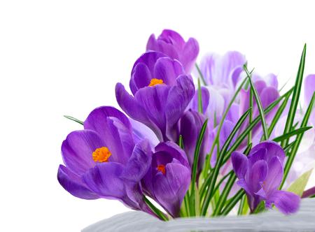 Blue crocuses fresh flowers over white background