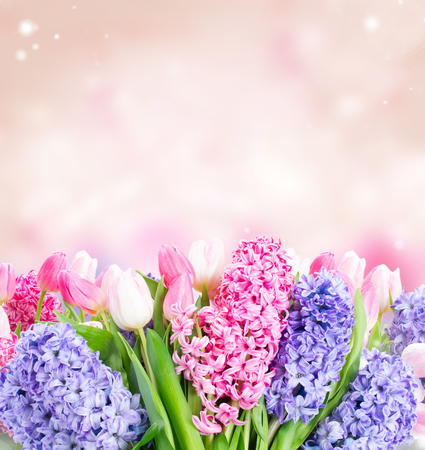 Bunch of hyacinth blue and pink fresh flowers over garden pink background 版權商用圖片