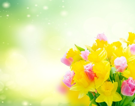 fresh pink tulips and yellow daffodils over green garden background
