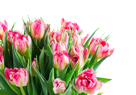 Bunch of pink double tulips flowers bouquet closeup isolated on white background