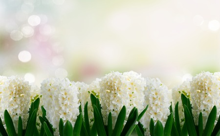 Hyacinth white flowers row over bokeh garden background 免版税图像