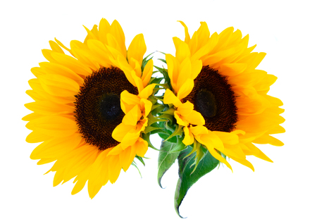 Sunflowers fresh flowers two heads isoltaed on white background Reklamní fotografie