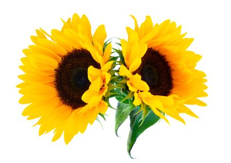 Zonnebloemen verse bloemen twee hoofden isoltaed op witte achtergrond Stockfoto