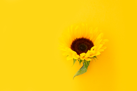 Sunflowers fresh flower head on yellow background with copy space 스톡 콘텐츠