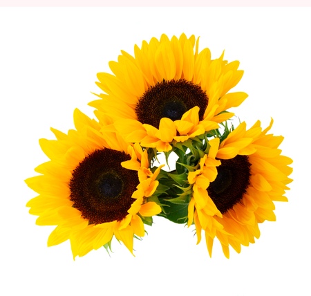Sunflowers fresh flowers three heads isolated on white background