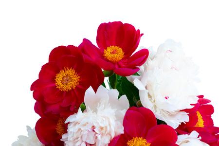 Fresh peony flowers red nd white isolated on white background 版權商用圖片