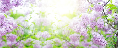 Blooming light violet lilac flowers with green leaves in garden banner