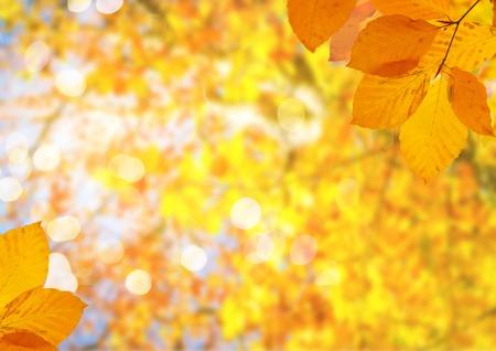 Fogliame giallo fresco dell'albero di caduta dell'acero sul fondo del cielo blu pallido Archivio Fotografico