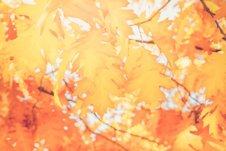 fall yellow oak leaves bokeh background with sun beams, retro toned