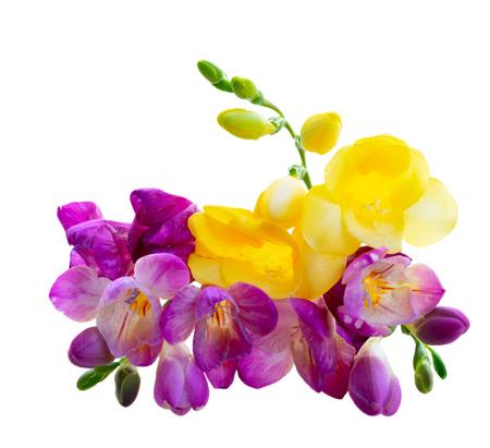 Boeket van fresia violet en gele bloemen omhoog geïsoleerd op witte achtergrond Stockfoto