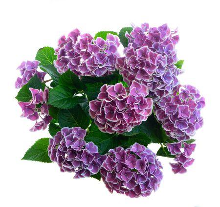 fioletowe kwiaty hortenzji na białym tle