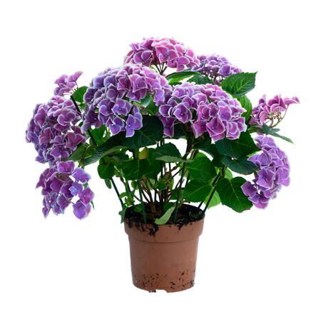 violet hortenzia flowers in pot isolated on white background