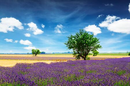 Lavender field and tree with summer dark blue sky, France, retro toned