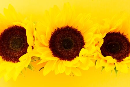 Sunflowers fresh flowers close up on yellow background with copy space