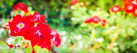 Wide web banner with red roses garden, retro toned Stockfoto