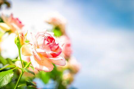 Pink rose flower over blue sky, retro toned