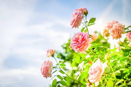 Pink rose flower bush over blue sky, retro toned Stockfoto