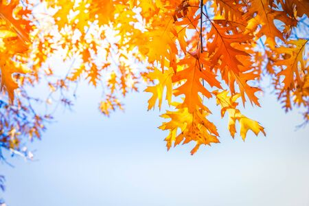 fall yellow oak leaves bokeh background with sun beams on blue, retro toned