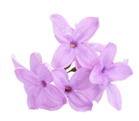 Fresh lilac macro violet flowers isolated over white background