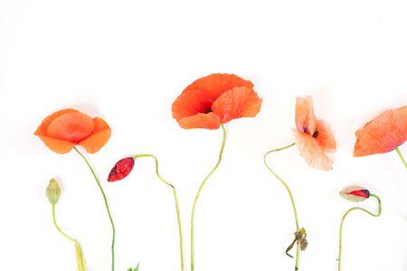 rote Mohnblumen isoliert auf weißem Hintergrund