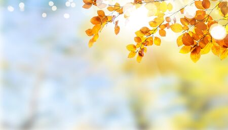Fresh yellow maple fall tree foliage on pale cloudy sky background with copy space Reklamní fotografie