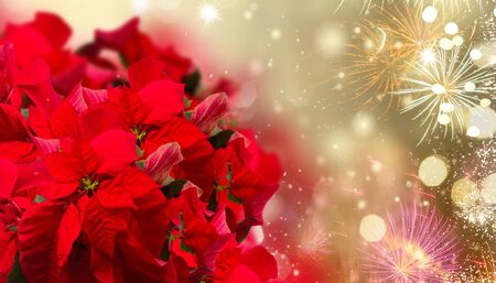 scarlet poinsettia flower or christmas star on festive background with fireworks