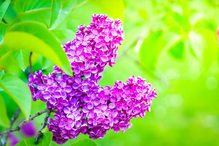 Blooming violet lilac flowers on defocused green background with sunshine