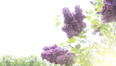 Blooming lilac flowers on pale sky background with copy space