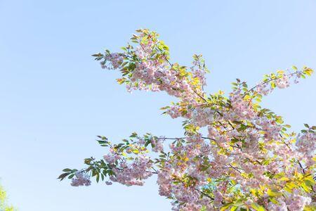 Cherry tree spring fresh blossom on blue sky background
