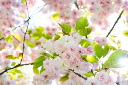 Cherry tree spring fresh blossom close up natural backgrpund