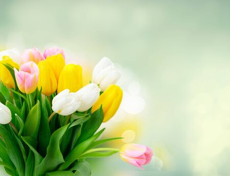 Pink, yellow and white fresh tulip flowers and green leaves over garden bokeh background Zdjęcie Seryjne