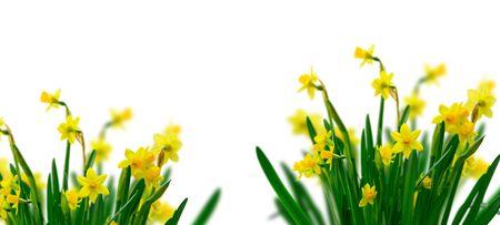 Yellow daffodil flowers border over white background Zdjęcie Seryjne