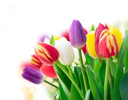 Red, violet and yellow fresh tulip flowers over white