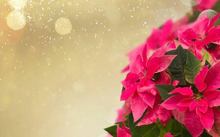 frame of pink poinsettia flower or christmas star on golden bokeh background
