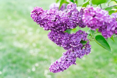 Blooming purple lilac flowers on defocused green grass background with copy space