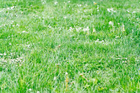 fresh green grass, natural close up background Zdjęcie Seryjne