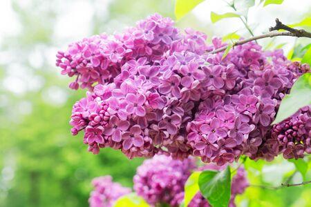 Blooming violet lilac flowers on defocused green leaves background with copy space Zdjęcie Seryjne