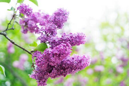 Blooming violet lilac flowers on defocused garden background