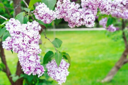 Blooming violet lilac flowers frame on defocused green grass background with copy space