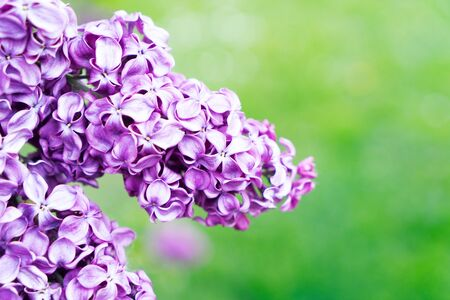 Blooming purple lilac flowers close up on defocused green grass background with copy space Zdjęcie Seryjne