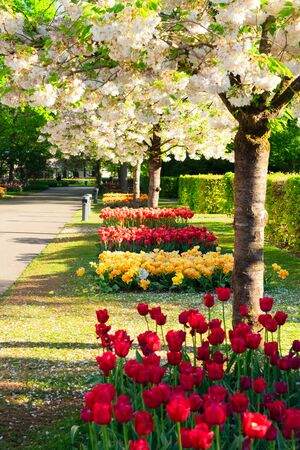 Colourful Blooming sacura cherry tree and flowerbed in an Spring Formal Garden