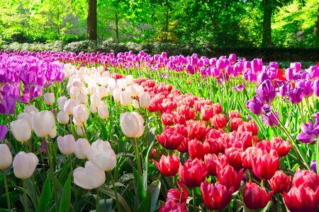 fresh spring lawn with rows of blooming fresh tulips flowers Zdjęcie Seryjne