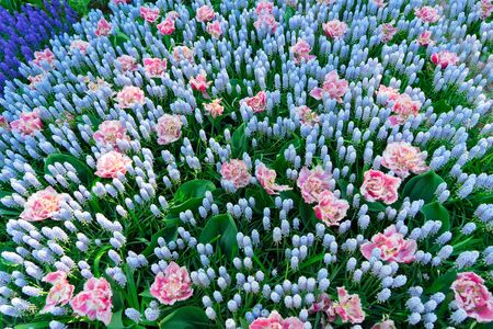 Blue muscari and pink tulips flowers natural background