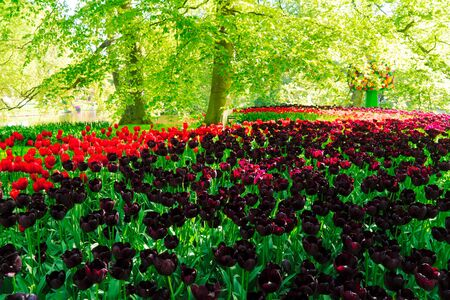 Curve of red and black tulip flowers on green grass in formal garden background