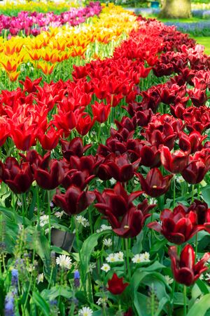 fresh spring lawn with blooming red and yellow spring tulips flowers, retro toned