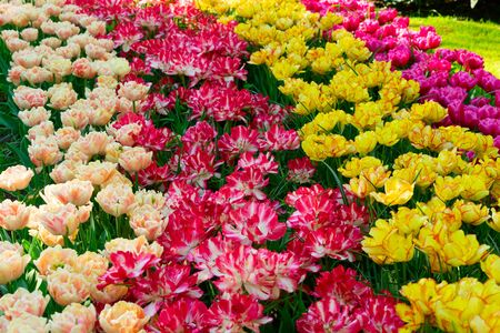 fresh spring lawn with blooming pink and yellow spring tulips flowers, retro toned